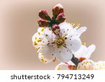 blooming apricot branch in... | Shutterstock . vector #794713249