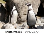 humboldt penguin at the zoo   Shutterstock . vector #79472377