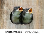 Stock photo pair of hungry baby tree swallows tachycineta bicolor looking out of a bird house begging for food 79473961