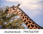 male giraffe eating acacia... | Shutterstock . vector #794766709