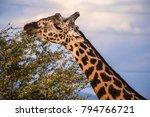 male giraffe eating acacia... | Shutterstock . vector #794766721