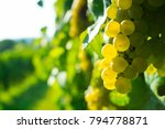 ripe white grapes  | Shutterstock . vector #794778871