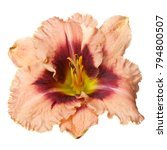 A Flower Daylily Isolated On...