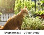 cat enjoy eating bamboo leaves | Shutterstock . vector #794843989