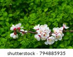 blooming apricot branch in... | Shutterstock . vector #794885935