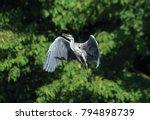 Small photo of Grey heron - Ardeinae