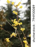 Small photo of Wintersweet blossoms in a park