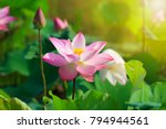 Beautiful Pink Lotus Flower In...