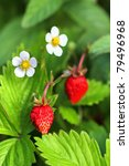 Fragaria Vesca  Commonly Known...