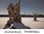 Two Dead Tree Stumps Frozen In...