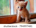 Stock photo funny red kitten ginger red kitten on window long haired red kitten sweet adorable red kitten on 794997481