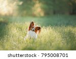 dog papillon on in a field of... | Shutterstock . vector #795008701