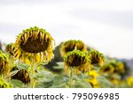 natural of withered flowers of... | Shutterstock . vector #795096985