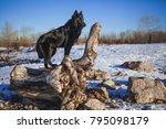 belgian shepherd dog in snowy... | Shutterstock . vector #795098179