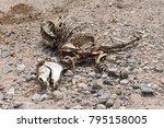skeleton of a zebra in a dry... | Shutterstock . vector #795158005