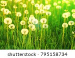 field of white dandelions.... | Shutterstock . vector #795158734