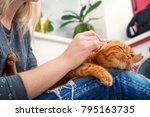 Stock photo a woman is cleaning the ears of a red cat at home 795163735