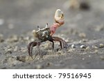 Atlantic Sand Fiddler Crab  Uc...