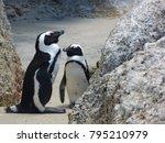jackass penguins cape town...   Shutterstock . vector #795210979