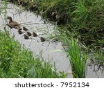 Ducks In Stream
