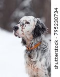 English Setter In Winter
