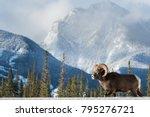 Bighorn Sheep In Alberta