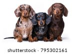 Three Dogs Of Dachshunds Of...