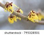 blooming hamamelis mollis ... | Shutterstock . vector #795328501