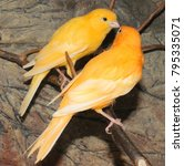 Small photo of two Orange Canary Bird (Serinus canaria) make love