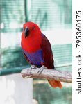 eclectus parrot is unusual in... | Shutterstock . vector #795360175