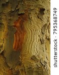 Small photo of Wavy trunk of the Sycamore Maple (Acer pseudoplatanus)