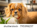 Stock photo king charles cavalier puppy this is a very loving and wonderful family pet 795398257