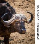 Small photo of African buffalo - Portrait