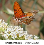 Macro Shot Of Gulf Fritillary...