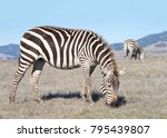 zebras  adults and baby walking ... | Shutterstock . vector #795439807