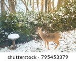 Young Female Deer Grazing In  ...