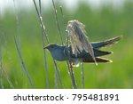common cuckoo  cuculus canorus  ... | Shutterstock . vector #795481891