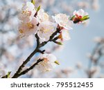 Apricot Tree Flowers With Soft...