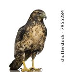 young black chested buzzard... | Shutterstock . vector #7955284