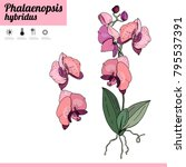 phalaenopsis orchid isolated on ... | Shutterstock .eps vector #795537391