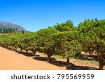 rows of citrus trees on a... | Shutterstock . vector #795569959