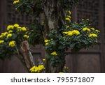 in autumn  the chrysanthemum... | Shutterstock . vector #795571807