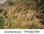 grass backlit in evening. | Shutterstock . vector #795583789