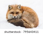 Fox And Snow  Miyagi Zao Fox...