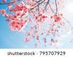 beautiful sakura flower  cherry ... | Shutterstock . vector #795707929