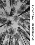 tops of pine trees in the...   Shutterstock . vector #795729145