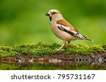 beautiful songbird  hawfinch ... | Shutterstock . vector #795731167