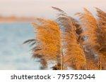 common reed  phragmites...   Shutterstock . vector #795752044