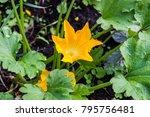 Yellow Flower Of Zucchini In...