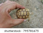 Baby Tortoise On The Hands Of...